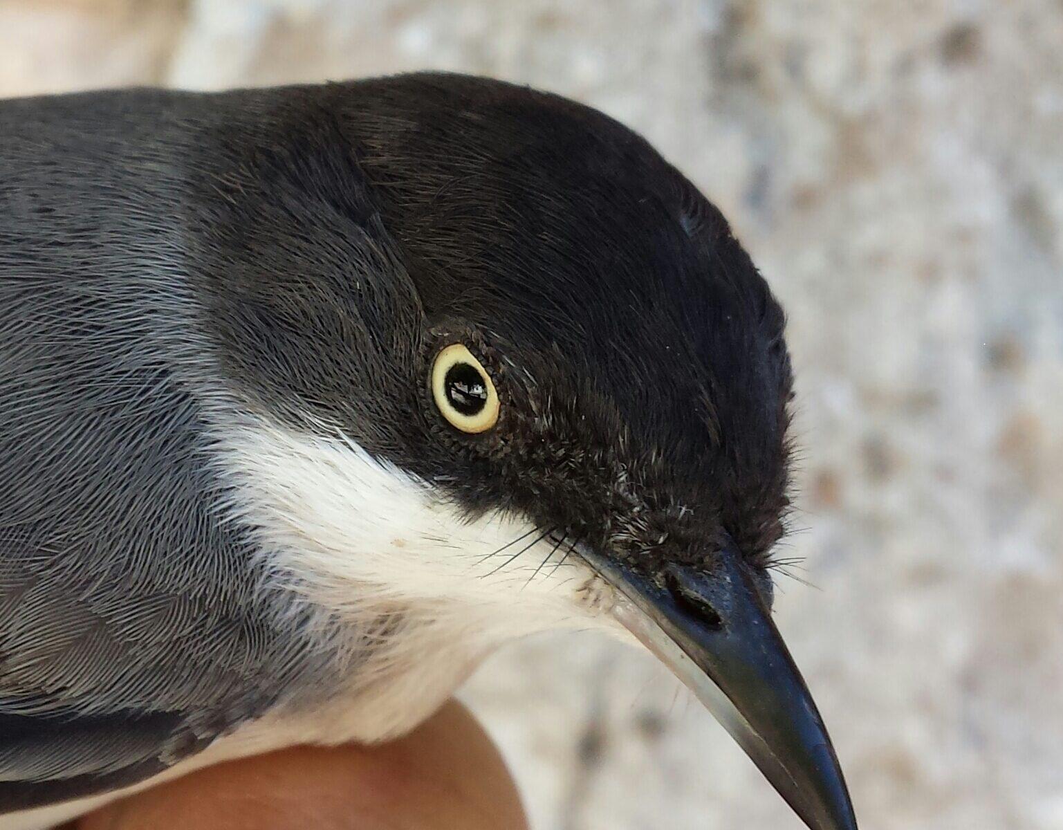 Estación de anillamiento científico de aves 'Hortensis' en Torremocha de Jadraque